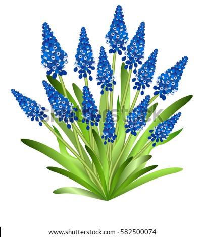 muscari  grape hyacinth  hand