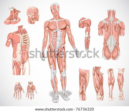 muscle system