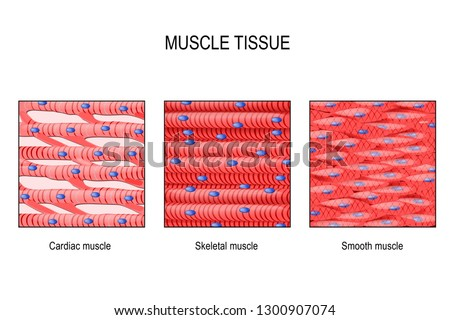 muscle tissue. Skeletal muscle, smooth (in a gastrointestinal tract) and cardiac muscle (in a heart). Types of Muscle cells. vector for medical, educational, biologycal and science use