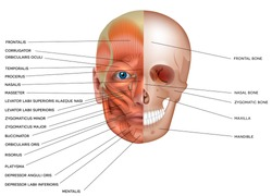 Muscles and bones of the face detailed bright anatomy isolated on a white background