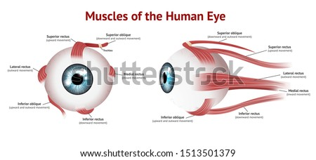 Muscles of Human eye, Eye muscle anatomy, Blue eye, Vector Illustration on white background.