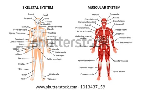 Muscular and skeletal systems anatomy chart complete educative guide poster displaying human figure from front vector illustration  Сток-фото ©