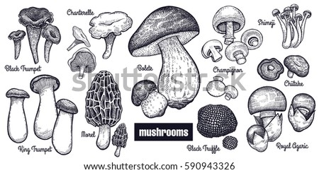 Mushrooms big set. Bolete, Morel, Black Truffle, Royal Agaric, Shimeji, Champignon, Chanterelle, Black Trumpet, King Trumpet black on white background. Style Vintage engraving. Vector illustration art