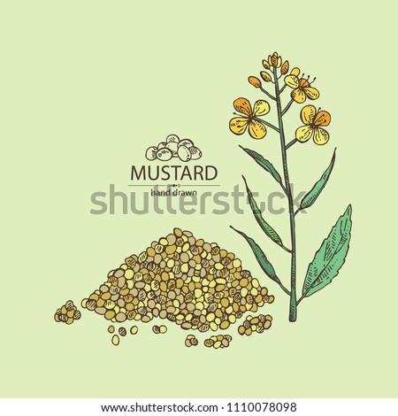 Mustard: plant, mustard seeds, flower, leaves and pod. Dijon mustard. Vector hand drawn illustration.
