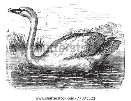 mute swan or cygnus olor
