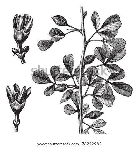 Myrrh, Balsamea or Balsamodendron ehrenbergianum, vintage engraving. Old engraved illustration of a Myrrh plant showing flowers (left).