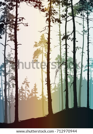natural background with the silhouette of a pine forest