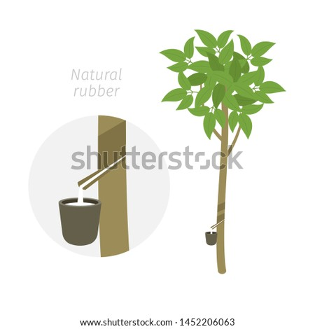 natural rubber tree plant