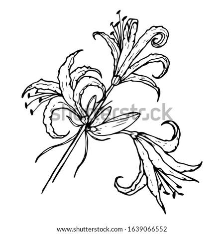 nerine flower  spider lily