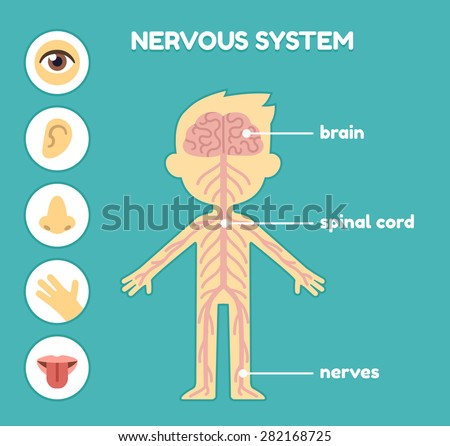 Nervous system, educational anatomy chart for kids. Nerves, brain and the five senses. Captions on separate layer.