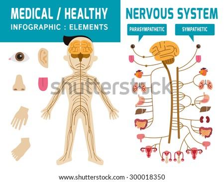 nervous system. sympathetic system, parasympathetic system infographic element vector.