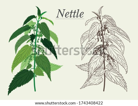nettle green and dried acute Apothecary