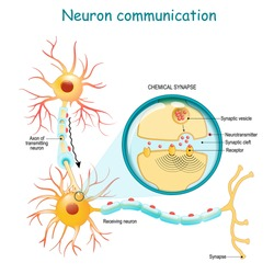 Neural communication. Transmission of the nerve signal between two neurons with axon and synapse. Close-up of a chemical synapse. vector diagram for education, medical, science use