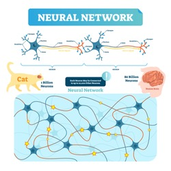 Neural network vector illustration. Neuron structure and net diagram. Synapse, soma, axon and dendrites location. Human and cat neuron count comparement.