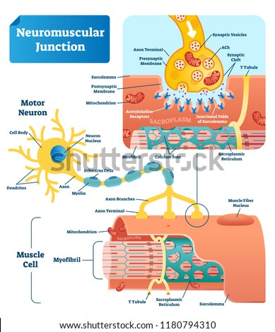 Neuromuscular junction vector illustration scheme. Labeled medical infographic. Motor neuron and muscle cell structure closeup. Diagram with myofibril and muscle fibers.
