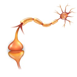 Neuron anatomy illustration, it passes signal to another neuron.