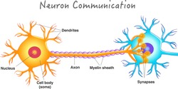 Neuron communication. Transmission of the nerve signal between two neurons. Neuron connect. Nervous system. Simple annotated. White background. 2d vector drawing.