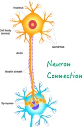 Neuron connection. Transmission of the nerve signal between two neurons. Neuron communication . Simple annotated. Vertical nervous system. White background. 2d vector drawing.