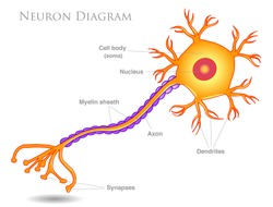 Neuron diagram. Yellow  neurons  structure. Main components, synapses, nucleus, axon, myelin sheath, cell body.  Simple expression. nervous cell anatomy. White background. Drawing illustration. Vector