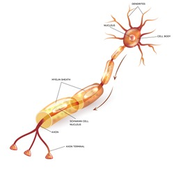 Neuron, nerve cell axon and myelin sheath  substance that surrounds the axon detailed anatomy illustration