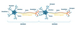 Neuron network example diagram, vector illustration. Synapses, soma, axon and dendrites closeup scheme. Nervous system electric signal communication structure. Neurology science study information.