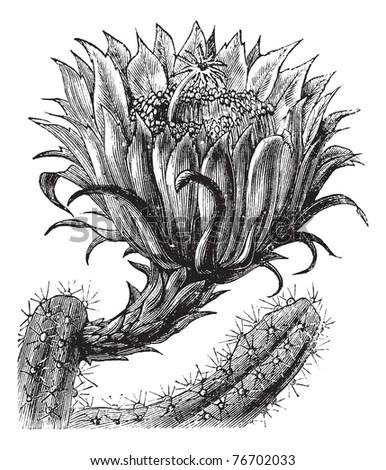 Nightblooming Cereus or Queen of the Night or Large-flowered Cactus or Sweet-Scented Cactus or Vanilla Cactus or Selenicereus grandiflorus, vintage engraving. Trousset Encyclopedia