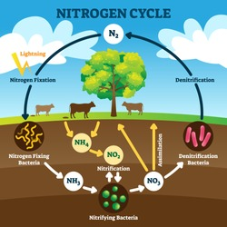 Nitrogen cycle vector illustration. Labeled N2 process biogeochemical explanation. Educational diagram with denitrification, fixation, nitrification and assimilation in ecosystem environment model.