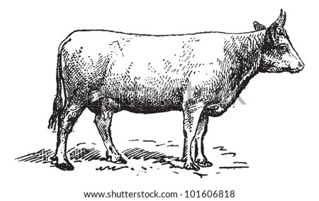 Norman cattle breed, vintage engraved illustration. Dictionary of words and things - Larive and Fleury - 1895.