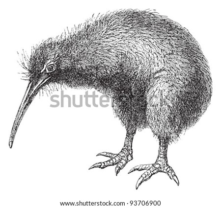 North Island Brown Kiwi (Apteryx Mantelli) / vintage illustration from Meyers Konversations-Lexikon 1897