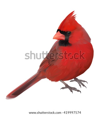 northern cardinal portrait