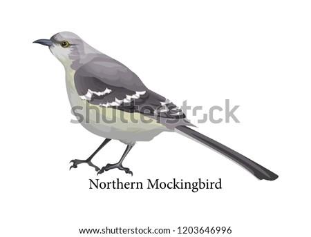 Northern mockingbird realistic exotic animal. Grey beak and feather. Ornithology and wildlife. Isolated vector illustration