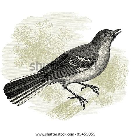 "Northern Mockingbird - vintage engraved illustration - ""Histoire naturelle"" by Buffon and Lacépède published in 1881 France"