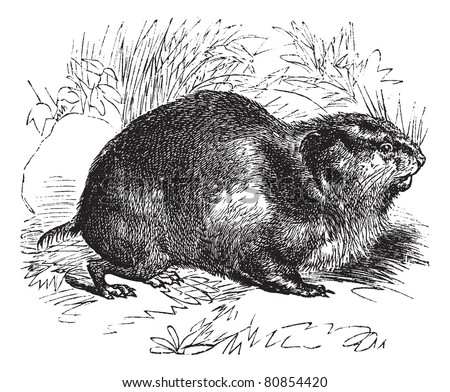 Norway lemming or Norwegian lemming, vintage engraved illustration. Trousset encyclopedia (1886 - 1891).