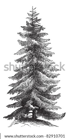 Norway Spruce or Picea abies or European Spruce, vintage engraving. Old engraved illustration of Norway Spruce tree. Trousset encyclopedia (1886 - 1891).