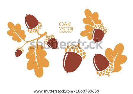 Oak. Branch. Isolated acorns on white background