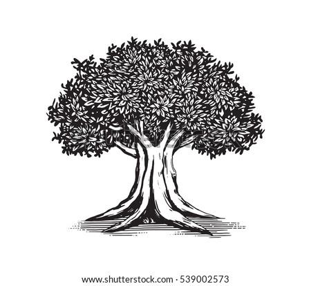 oak tree vector logo...