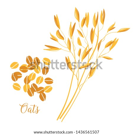 Oats cereals grain. Spikes and grains of oats Vector illustration isolated on white background.