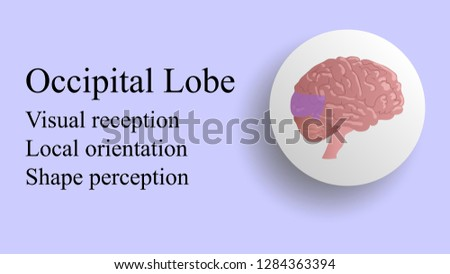 Occipital lobe vector. Brain lobes vector illustration. Human brain infographic vector. Brain lobes functions