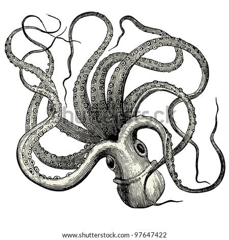 Octopus (octopus vulgaris) - vintage engraved illustration -