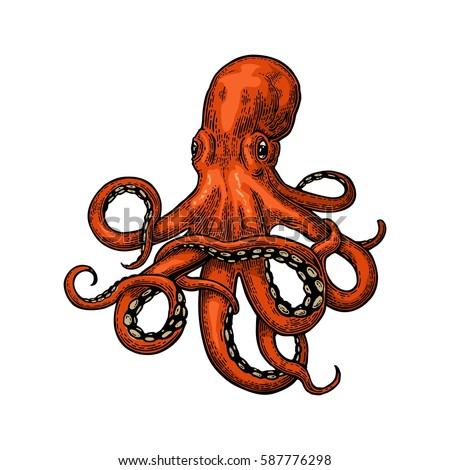 octopus. vector color engraving ...