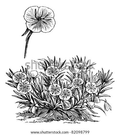 oenothera missouriensis or