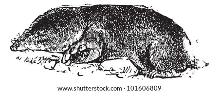 Old engraved illustration of common mole rat or Cryptomys hottentotus. Dictionary of words and things - Larive and Fleury