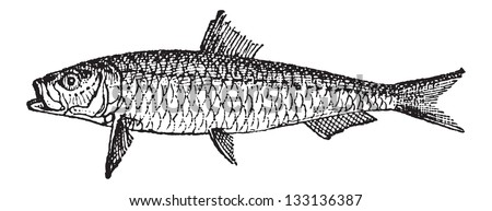 Old engraved illustration of Sardine or Pilchard isolated on a white background. Dictionary of words and things - Larive and Fleury ? 1895