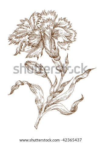 old-styled vector carnation. Freehand drawing
