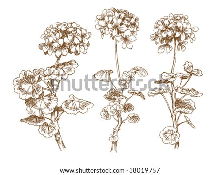 stock vector oldstyled vector geranium Trace of freehand drawing