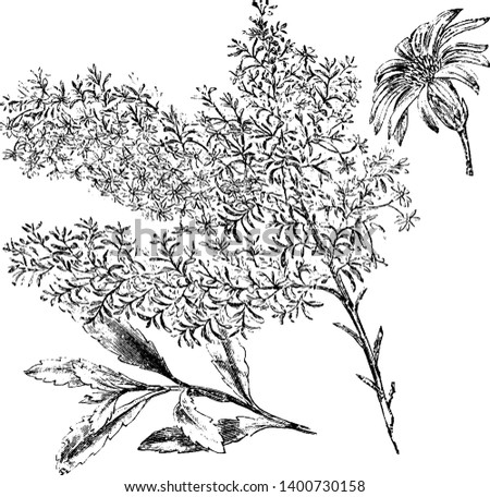 Olearia gunnia flowers are white and bloom in September. The branches are hoary. Pictured is a flowering branch, branchlet, and flower head of olearia gunnia, vintage line drawing or engraving