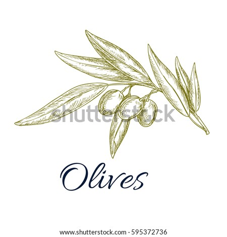 Olive branch sketch. Olive tree twig with ripe fruit and leaves for food packaging, mediterranean cuisine menu, organic farm and agriculture themes design