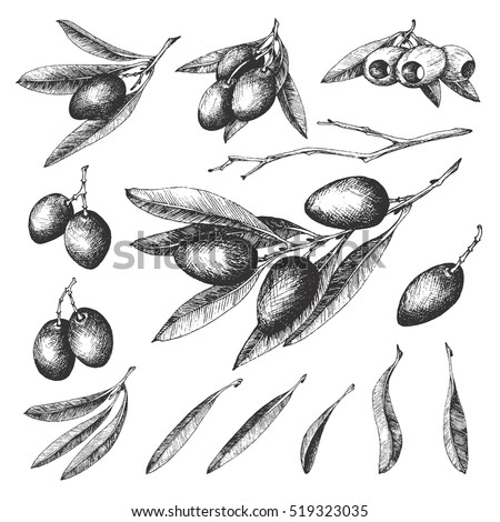 Olive sketch element collection, olive branches isolated over white background, leaves, olives, vector hand drawn retro illustration. Italian cuisine.