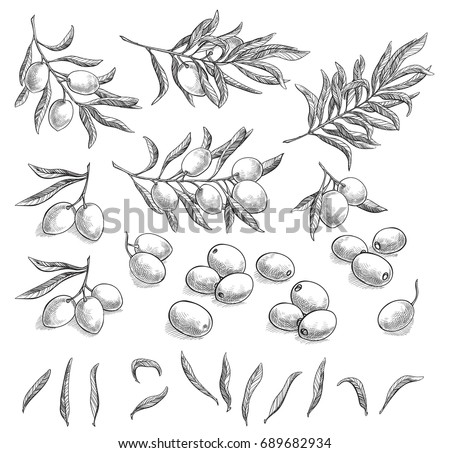 Olive sketch element collection, olive branches isolated over white background, leaves, olives, vector hand drawn illustration