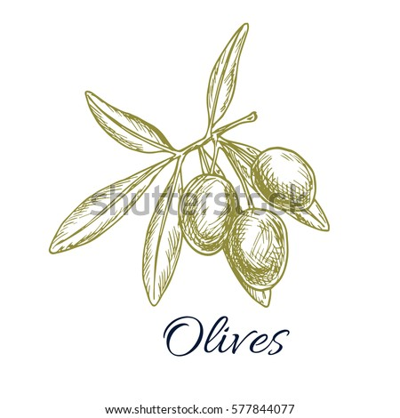 Olives sketch. Vector green olive branch. Design for for oil label, healthy vegetarian food menu. Symbol of Italian, Greek or Spanish cuisine cooking, salad ingredient and seasoning